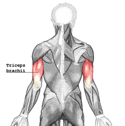 Tríceps Braquial en Imagenes