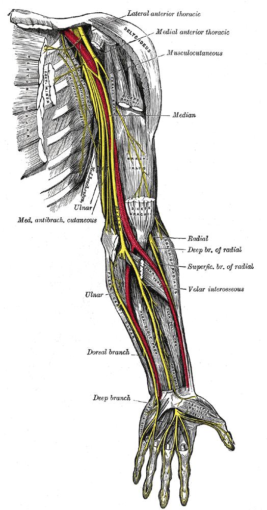 Bíceps Braquial en Imágenes anatómicas