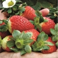 Fresas y fresones, un placer exquisito y saludable